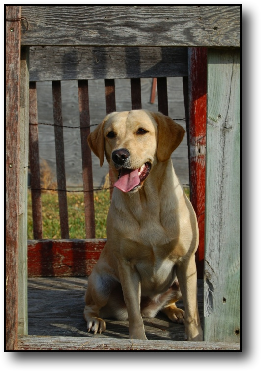 Tallgrass Kennels Offering British Labrador Retrievers British Labrador Retriever Breeders Trainers Of British Labs British Lab